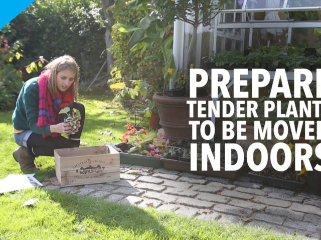 How to prepare tender plants to be moved indoors for winter