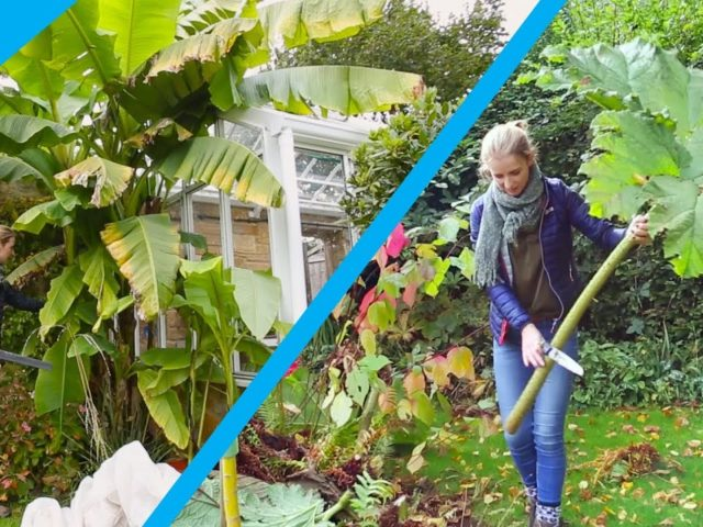 How to protect Banana and Gunnera plants in winter